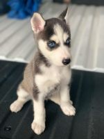 Alaskan Husky Puppies for sale in Mission, TX, USA. price: NA
