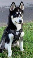 Alaskan Husky Puppies for sale in Williamsport, PA, USA. price: NA