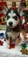 Alaskan Husky Puppies for sale in Keytesville, MO 65261, USA. price: NA