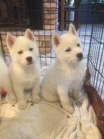 Alaskan Husky Puppies for sale in Lancaster, CA, USA. price: NA