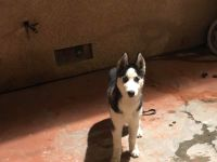 Alaskan Husky Puppies for sale in Panorama City, Los Angeles, CA, USA. price: NA