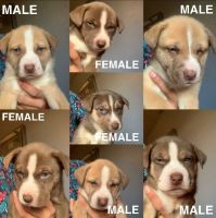 Alaskan Husky Puppies for sale in Los Angeles, CA 90033, USA. price: NA