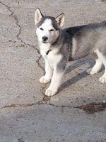 Alaskan Husky Puppies for sale in Modesto, CA, USA. price: NA