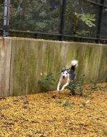 Alaskan Husky Puppies for sale in Brooklyn, NY, USA. price: NA