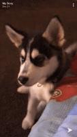 Alaskan Husky Puppies for sale in San Diego, CA 92113, USA. price: NA