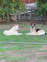 Alaskan Husky Puppies for sale in El Cajon, CA 92020, USA. price: NA