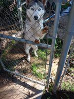 Alaskan Husky Puppies for sale in Riverside, CA, USA. price: NA