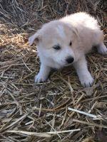 Alaskan Husky Puppies for sale in Monett, MO, USA. price: NA