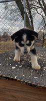 Alaskan Husky Puppies for sale in Carthage, MO 64836, USA. price: NA