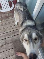 Alaskan Husky Puppies for sale in Helena, MT, USA. price: NA