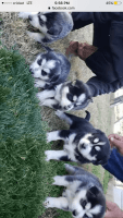 Alaskan Husky Puppies for sale in 22217 August Ave, Hilmar, CA 95324, USA. price: NA