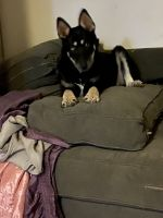 Alaskan Husky Puppies for sale in Passaic, NJ 07055, USA. price: NA