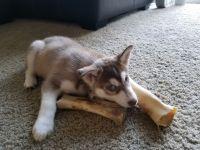 Alaskan Husky Puppies for sale in Beaverton, OR, USA. price: NA