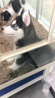 Alaskan Husky Puppies for sale in 8370 Rockridge Dr, Jacksonville, FL 32244, USA. price: NA