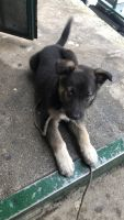 Alaskan Husky Puppies for sale in 1626 S Highland Ave, Los Angeles, CA 90019, USA. price: NA