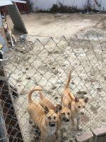 Alaskan Husky Puppies for sale in Garden Grove, CA, USA. price: NA