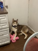 Alaskan Husky Puppies for sale in Baltimore, MD, USA. price: NA