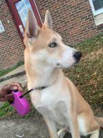 Alaskan Husky Puppies for sale in Hampton, VA, USA. price: NA