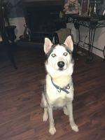 Alaskan Husky Puppies for sale in 714 Winston Rd SW, Marietta, GA 30008, USA. price: NA