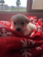 Alaskan Husky Puppies for sale in Foothill Ranch, Lake Forest, CA 92610, USA. price: NA