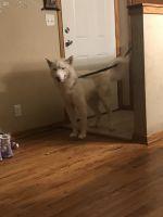 Alaskan Husky Puppies for sale in Brooklyn Center, MN, USA. price: NA