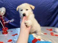 Alaskan Husky Puppies for sale in Punta Gorda, FL 33982, USA. price: NA