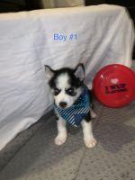 Alaskan Husky Puppies for sale in Dacono, CO, USA. price: NA