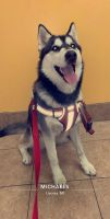 Alaskan Husky Puppies for sale in 8201 Dale St, Dearborn Heights, MI 48127, USA. price: NA