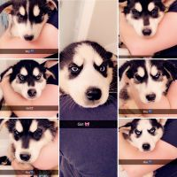 Alaskan Husky Puppies for sale in Crowley, TX 76036, USA. price: NA