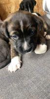 Alaskan Husky Puppies for sale in 6223 Allerton St, Houston, TX 77084, USA. price: NA