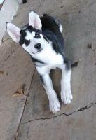 Alaskan Husky Puppies for sale in Lubbock, TX 79416, USA. price: NA