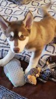 Alaskan Husky Puppies for sale in Coeur d'Alene, ID, USA. price: NA