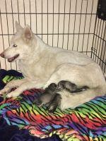 Alaskan Husky Puppies for sale in San Antonio, TX, USA. price: NA