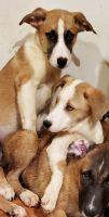 Alaskan Husky Puppies for sale in Pomona, CA, USA. price: NA