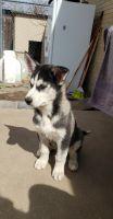 Alaskan Husky Puppies Photos