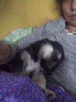 Alaskan Husky Puppies for sale in 1842 W Mistletoe Ave, San Antonio, TX 78201, USA. price: NA