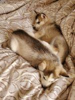 Alaskan Husky Puppies for sale in Altamonte Springs, FL 32701, USA. price: NA