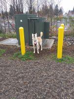Alaskan Husky Puppies for sale in 6200 12th Dr SE, Everett, WA 98203, USA. price: NA