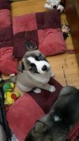 Alaskan Husky Puppies for sale in Lamoni, IA 50140, USA. price: NA