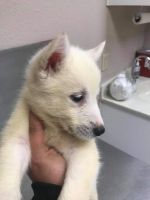 Alaskan Husky Puppies for sale in Jacksonville, FL, USA. price: NA