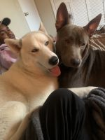 Alaskan Husky Puppies for sale in Douglas, GA, USA. price: NA
