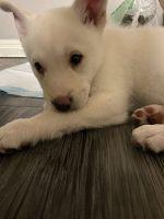 Alaskan Husky Puppies for sale in Las Vegas, NV 89142, USA. price: NA