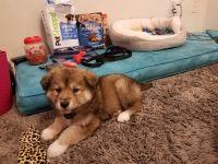 Alaskan Husky Puppies for sale in San Francisco, CA 94112, USA. price: NA