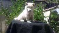 Alaskan Husky Puppies for sale in Huntsville, AL, USA. price: NA