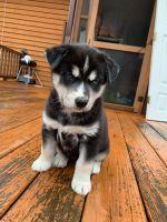 Alaskan Husky Puppies for sale in Raleigh, NC, USA. price: NA