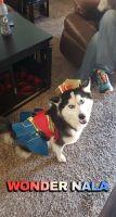 Alaskan Husky Puppies for sale in Albany, GA, USA. price: NA