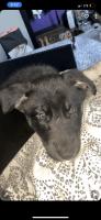 Alaskan Husky Puppies for sale in Oklahoma City, OK, USA. price: NA