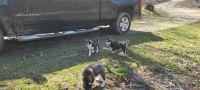 Alaskan Husky Puppies for sale in Logan, OH 43138, USA. price: NA