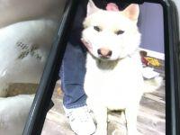 Alaskan Husky Puppies for sale in Calvert City Rd, Calvert City, KY 42029, USA. price: NA