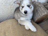 Alaskan Husky Puppies for sale in Buckeye, AZ, USA. price: NA